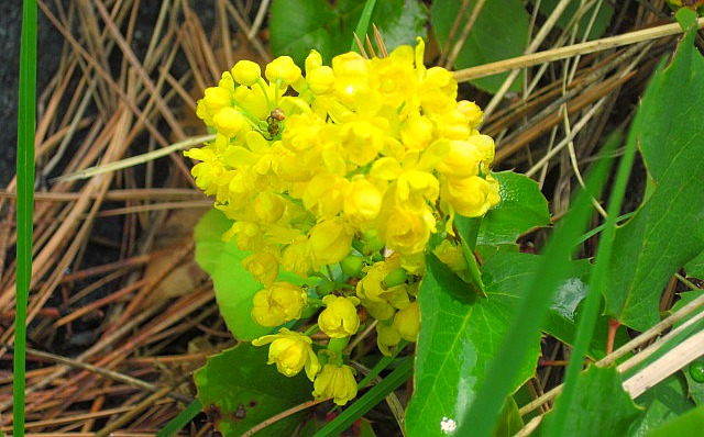 After much research, I found out that this is an Oregon Grape Flower. It is  the state flower of Oregon, and later in the summer these flowers will turn into berries which makes supposedly makes delicious jelly! Go figure!